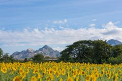 Sunflower field with mountains and sky royalty free stock photography