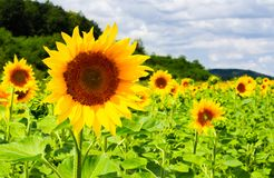 Sunflower field in the mountains. Lovely agricultural background. fine sunny weather Royalty Free Stock Photo