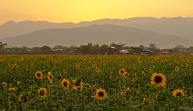 Sunflower field, mountains, sunset Stock Photos