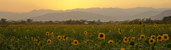 Sunflower field, mountains, sunset Royalty Free Stock Photography