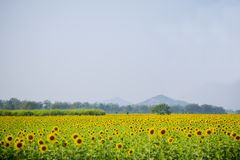 Sunflower field. Stock Photography