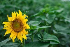 Sunflower field natural green on green background. Spring nature scene, green grass field. Rural grass field landscape. royalty free stock image