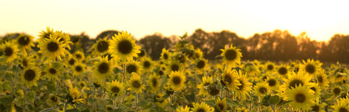 Sunflower field. Nature background photo Royalty Free Stock Photography