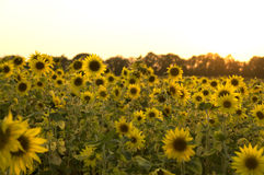 Sunflower field. Nature background photo Royalty Free Stock Photos