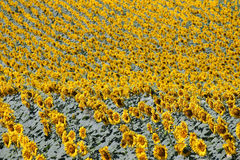 Sunflower field nature background Royalty Free Stock Images