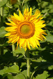 Sunflower. Field nature flower sun yellow green agricolture stock image