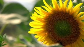 Sunflower in Field in Nature. Video stock footage