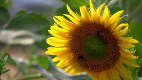 Sunflower in Field in Nature. Video stock video footage