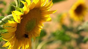 Sunflower in Field in Nature. Video stock video