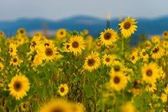 sunflower field near Marburg royalty free stock photo