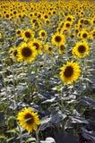 At sunflower field near south 24pargana
