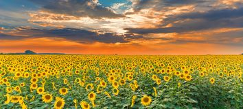 Free Sunflower Field On Sunset. Beautiful Nature Landscape Panorama. Farm Field Idyllic Scene. Stock Photos - 121481703