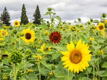 Sunflower field with one exception Royalty Free Stock Photo