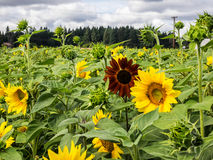 Sunflower field with one exception Stock Images