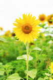 Sunflower on field Royalty Free Stock Image