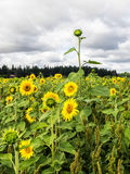 Sunflower field with one stand out Stock Image