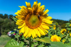 Sunflower. Field at Outhouse Orchard, North Salem, NY Stock Photo