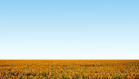 Sunflower field over blue clear sky. Background Stock Photo