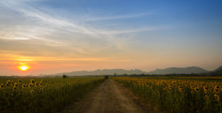 Sunflower field over blue sky Royalty Free Stock Photography