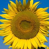 Sunflower field over blue sky Royalty Free Stock Images