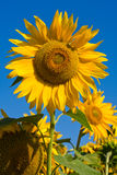 Sunflower field over blue sky Royalty Free Stock Photos