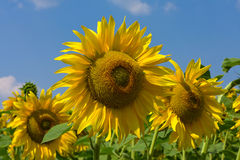 Sunflower field over blue sky Stock Photos