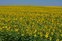 Sunflower field over blue sky Royalty Free Stock Image