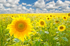 Sunflower field over cloudy blue sky. A sunflower field over cloudy blue sky royalty free stock image