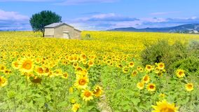 Sunflower field over cloudy blue sky stock footage