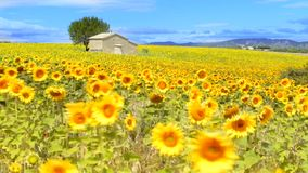Sunflower field over cloudy blue sky stock video footage