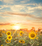 Sunflower field. stock photo