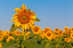 Sunflower field over cloudy blue sky and bright sun lights Stock Image