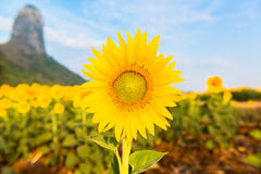 Sunflower field over cloudy blue sky and bright sun lights Stock Images