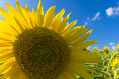 Sunflower field over cloudy blue sky and bright sun lights Royalty Free Stock Photography