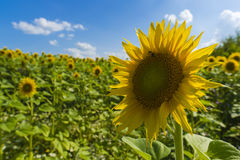 Sunflower field over cloudy blue sky and bright sun lights Royalty Free Stock Image
