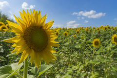 Sunflower field over cloudy blue sky and bright sun lights Stock Photos