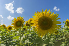 Sunflower field over cloudy blue sky and bright sun lights Royalty Free Stock Photos