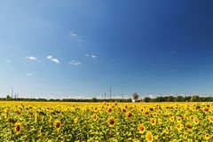 Sunflower field over cloudy blue sky and bright sun lights. Summ. Er landscape, house in a field of sunflowers Stock Image