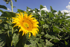 Sunflower field over cloudy blue sky. Sunflower, Sunflower blooming, Sunflower field Stock Photo