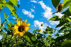 Sunflower field over cloudy blue sky Royalty Free Stock Image