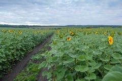 Sunflower field in overcast summer morning Stock Photos