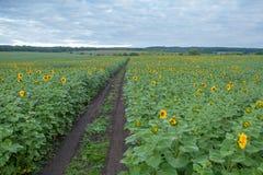 Sunflower field in overcast summer morning Stock Images