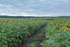 Sunflower field in overcast summer morning Royalty Free Stock Images
