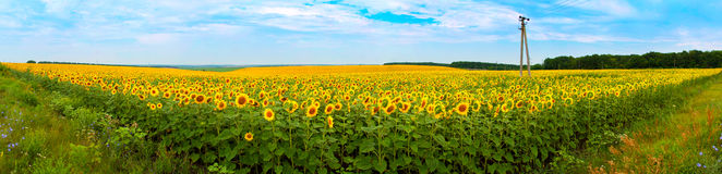Sunflower field panorama Stock Photo
