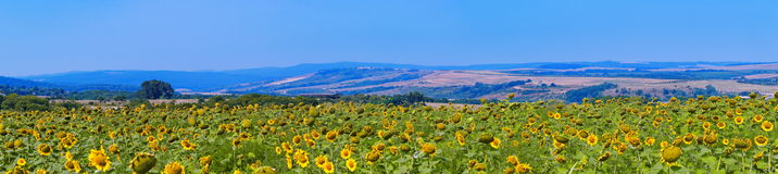 Sunflower field panorama Royalty Free Stock Image