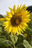Sunflower field. Sunflower on the field.Petals on the morning dew illuminated by the solar rays Stock Photography