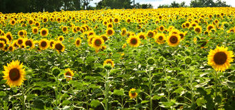 Sunflower field. Photo was taken in Furano of hokkaido stock photos