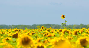 Sunflower field, Provence, France, shallow focus Royalty Free Stock Photo