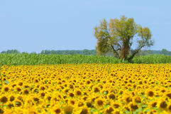 Sunflower field, Provence, France, shallow focus Stock Image