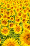 Sunflower field, Provence, France, shallow focus Royalty Free Stock Images